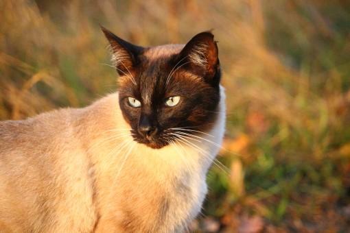 Images Gratuites : herbe, chaton, chat noir, faune, Siam, moustaches, vertébré, Mieze, chat ...