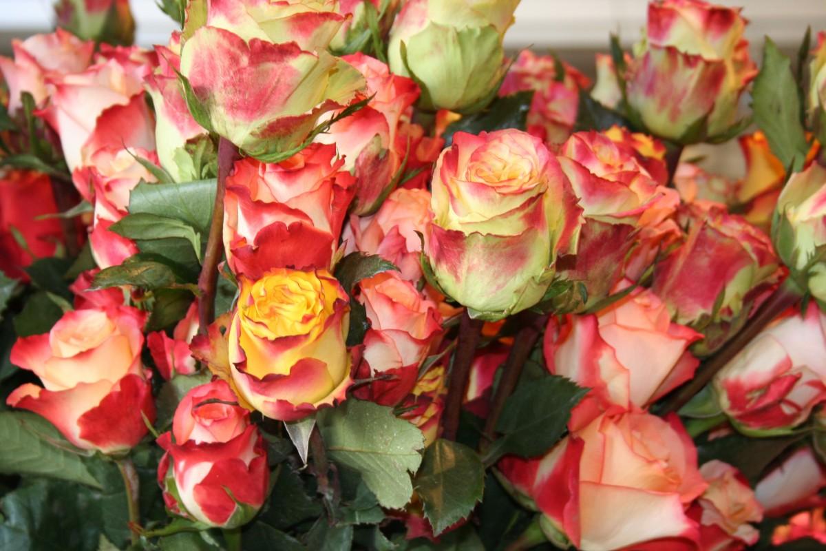 тоже каталог сортов роз с картинками флористика новоселье для больных