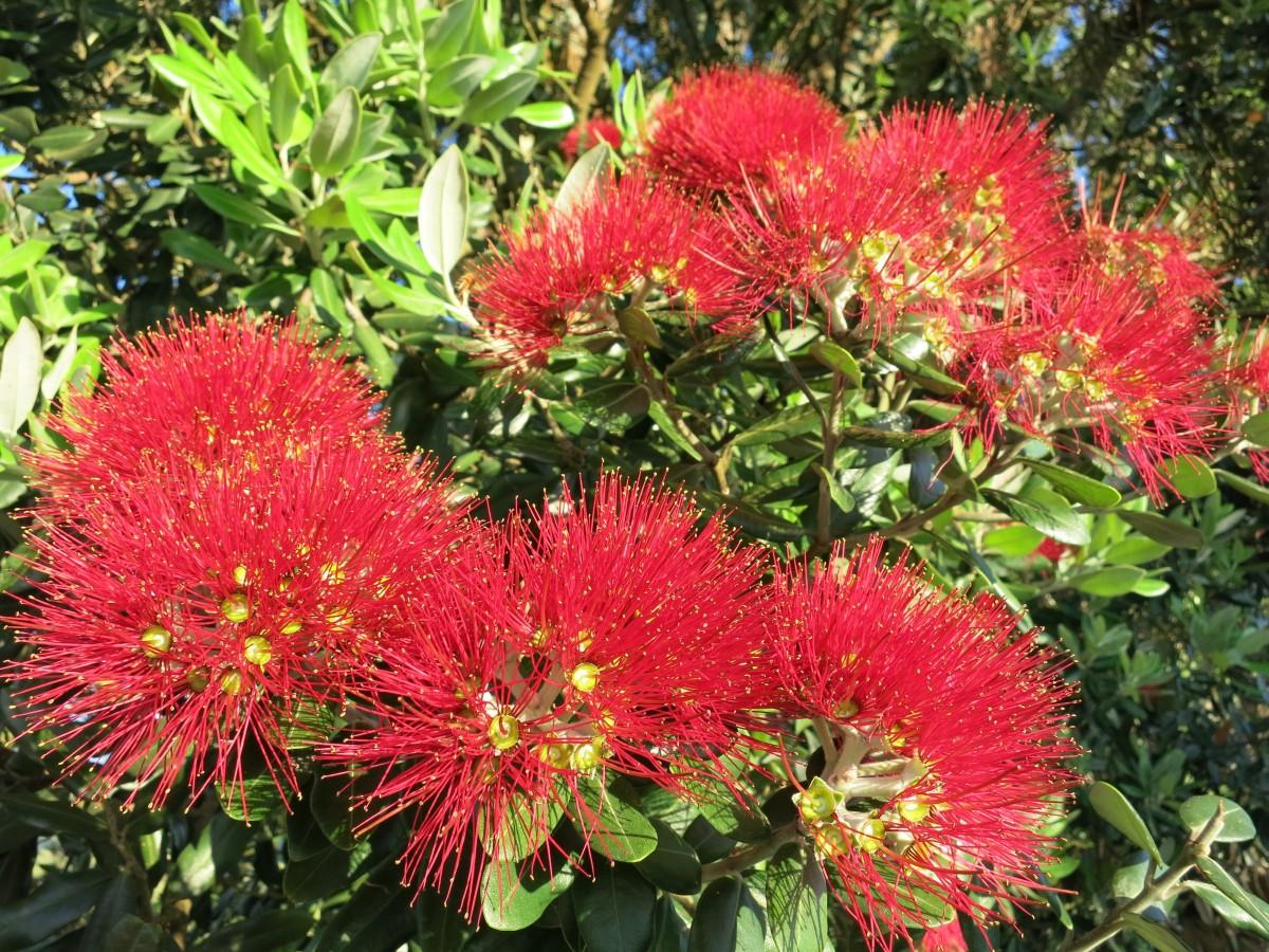 Fotos gratis rbol florecer rojo fuego bot nica for Arbol rojo jardin