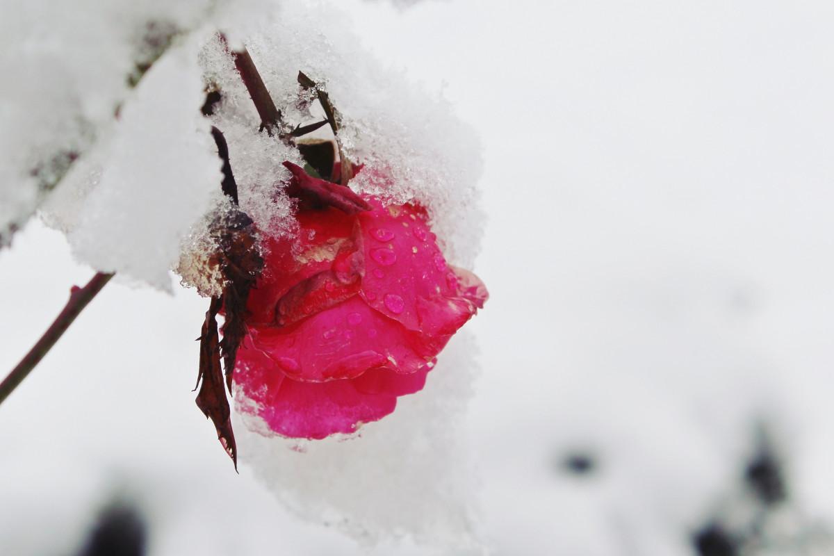 Фото снег на белых цветах