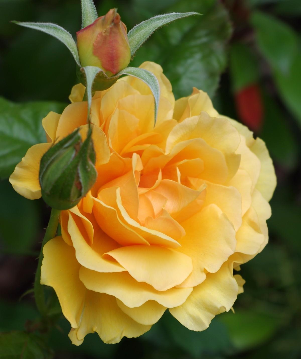 Garden Roses Flower Petal: Free Images : Nature, Flower, Petal, Orange, Park, Botany
