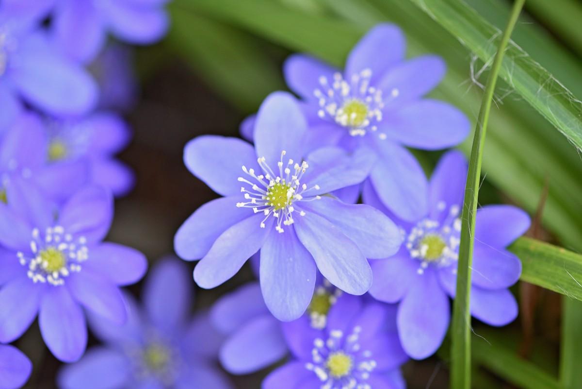 Free Images Blossom Petal Flora Blue Flower
