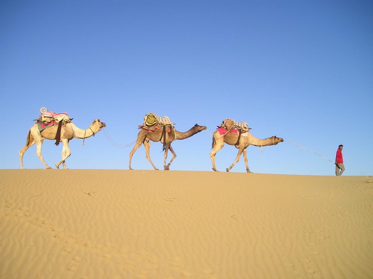постер пустыня и верблюды и люди имеет нестабильный