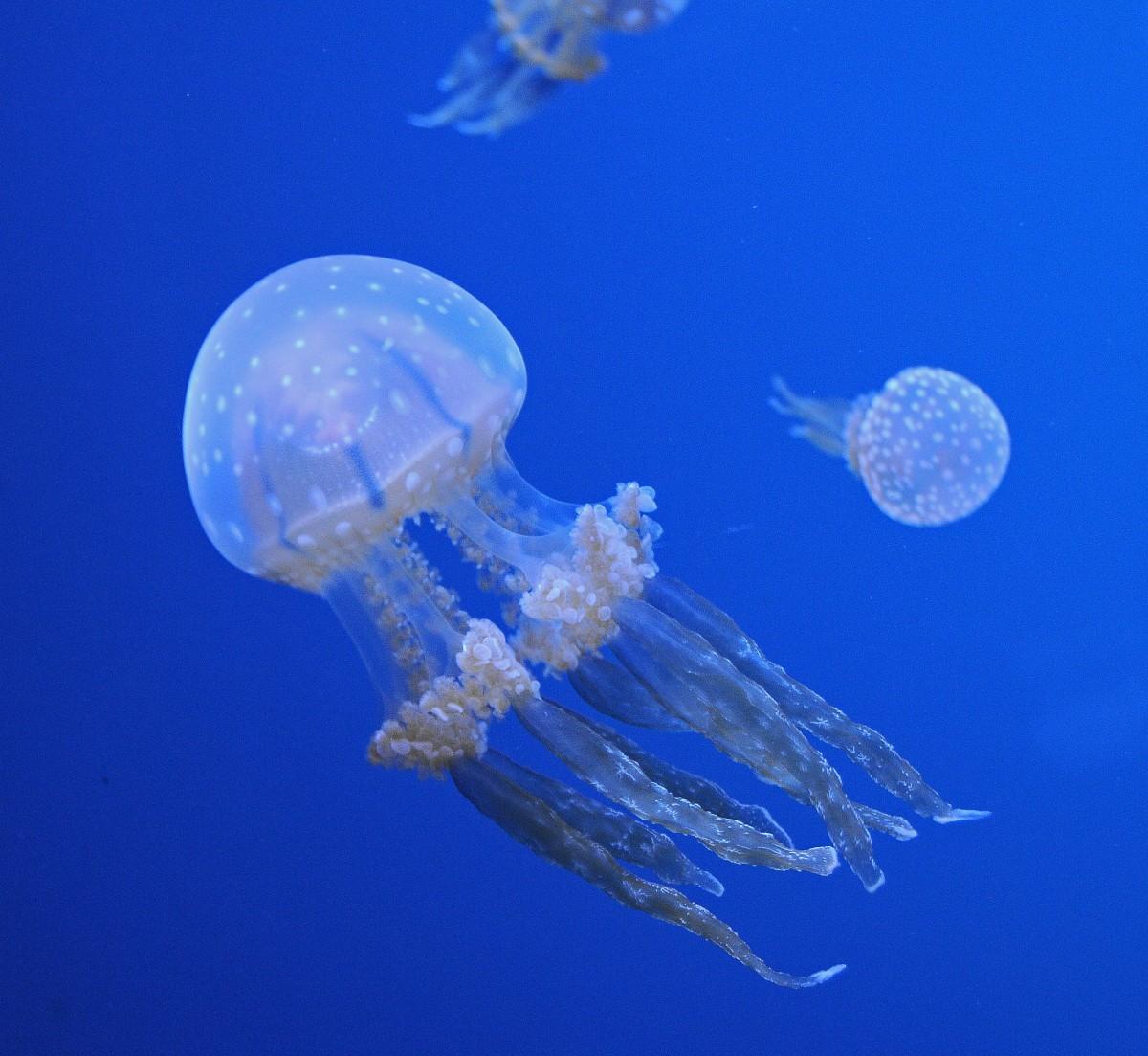 450 Koleksi Gambar Hewan Laut Ubur Ubur Gratis
