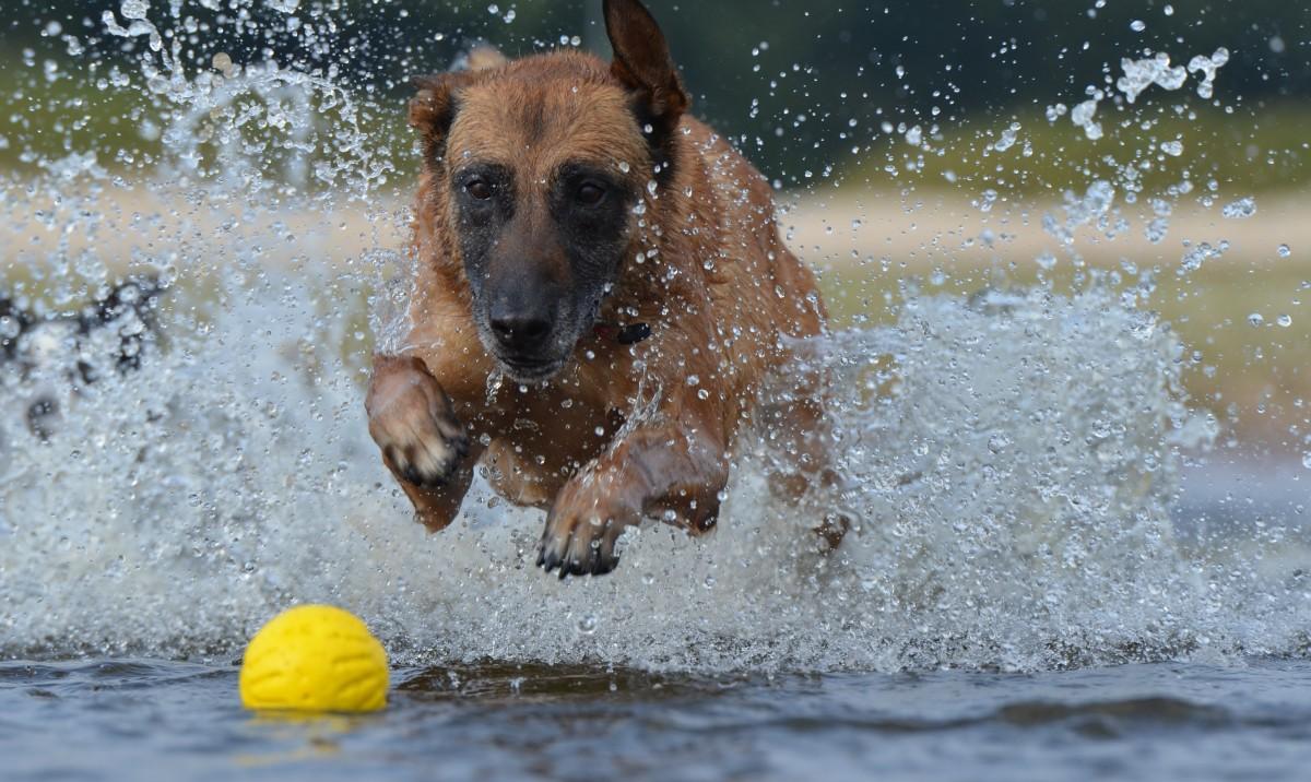 น้ำ หมา กระโดด ฤดูร้อน สัตว์เลี้ยงลูกด้วยนม ลูกบอล สัตว์มีกระดูกสันหลัง การบันทึกภาพเคลื่อนไหว malinois สุนัขชอบเลี้ยงลูกด้วยนม