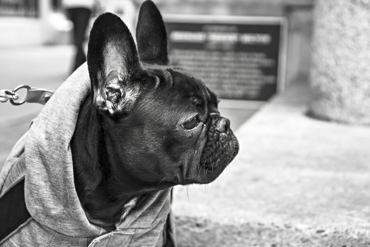 en blanco y negro perro animal mirando mascota mamífero negro monocromo buldog suéter doguillo collar orejas cabeza Correa vertebrado Bulldog francés vigilante Observando Fotografía monocroma Perro como mamífero
