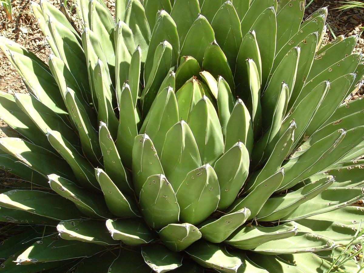 картинки цветет агава механизмы пока существуют