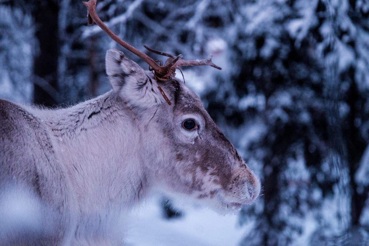Bakgrundsbilder sn vinter r djur v der s song ren - Ren des neige ...