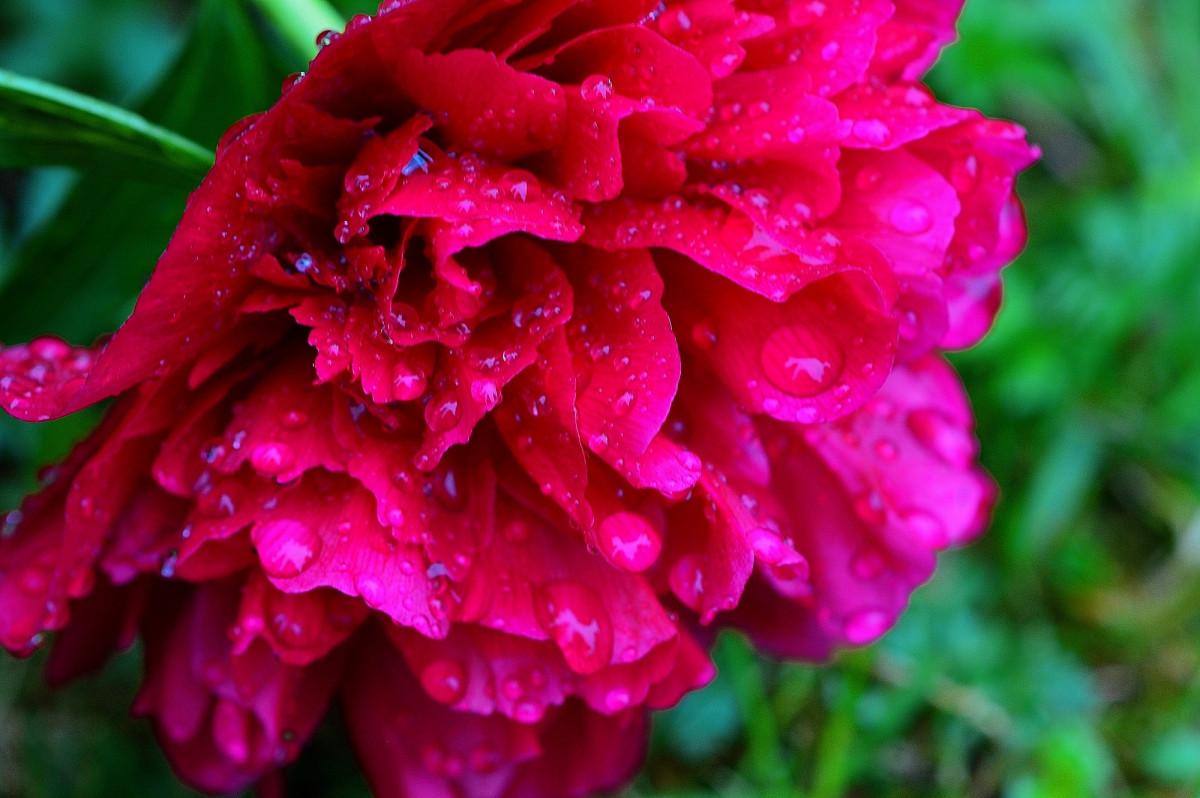 Картинки дождь и цветы пионы, картинки