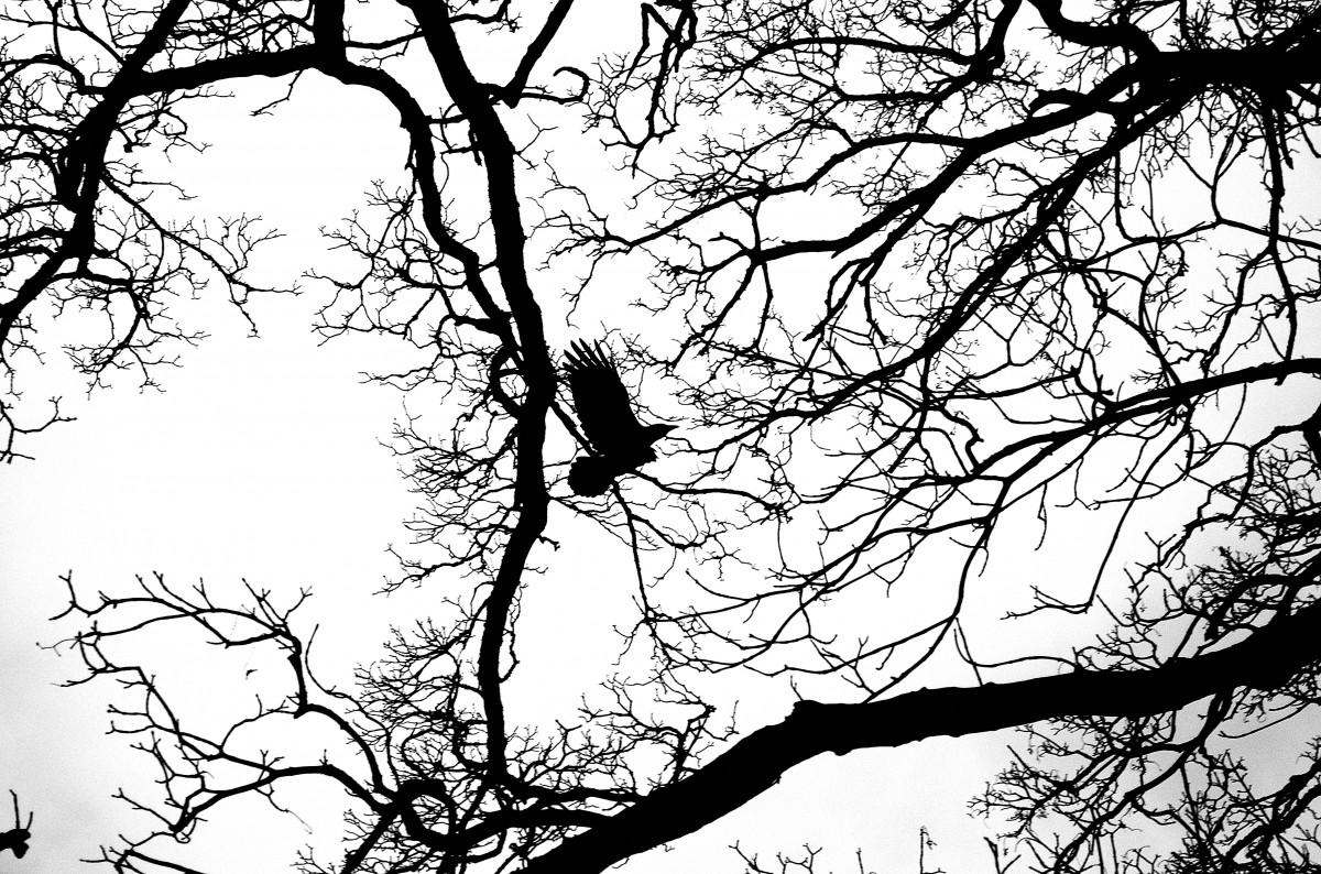 kostenlose foto baum natur ast silhouette vogel licht schwarz und wei linie flug. Black Bedroom Furniture Sets. Home Design Ideas