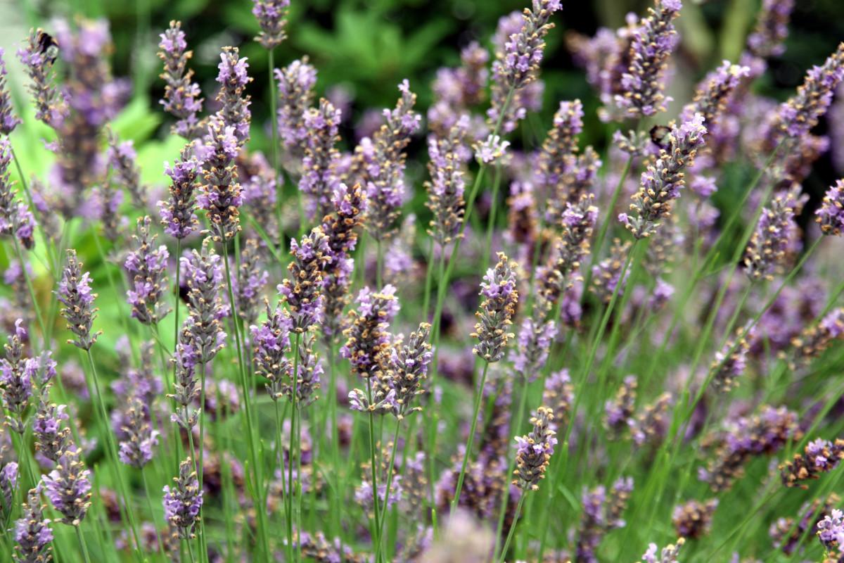 kostenlose foto gras wiese pr rie blume kraut herbst botanik flora lavendel wildblume. Black Bedroom Furniture Sets. Home Design Ideas