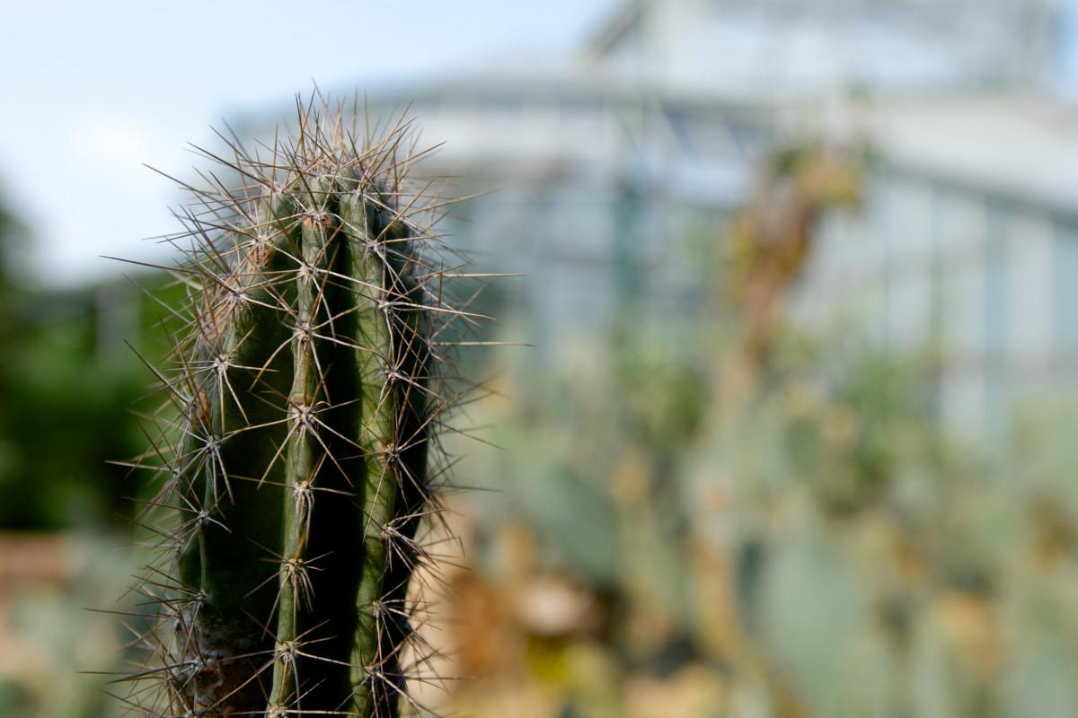 daun kaktus berbentuk duri