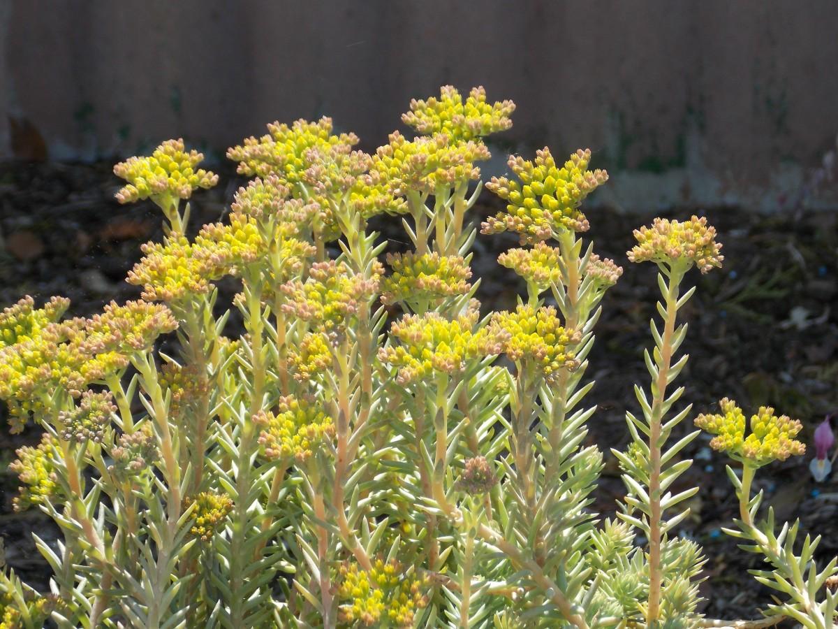 Pflanzen fur steingarten immergrun - Welche pflanzen eignen sich fur einen steingarten ...