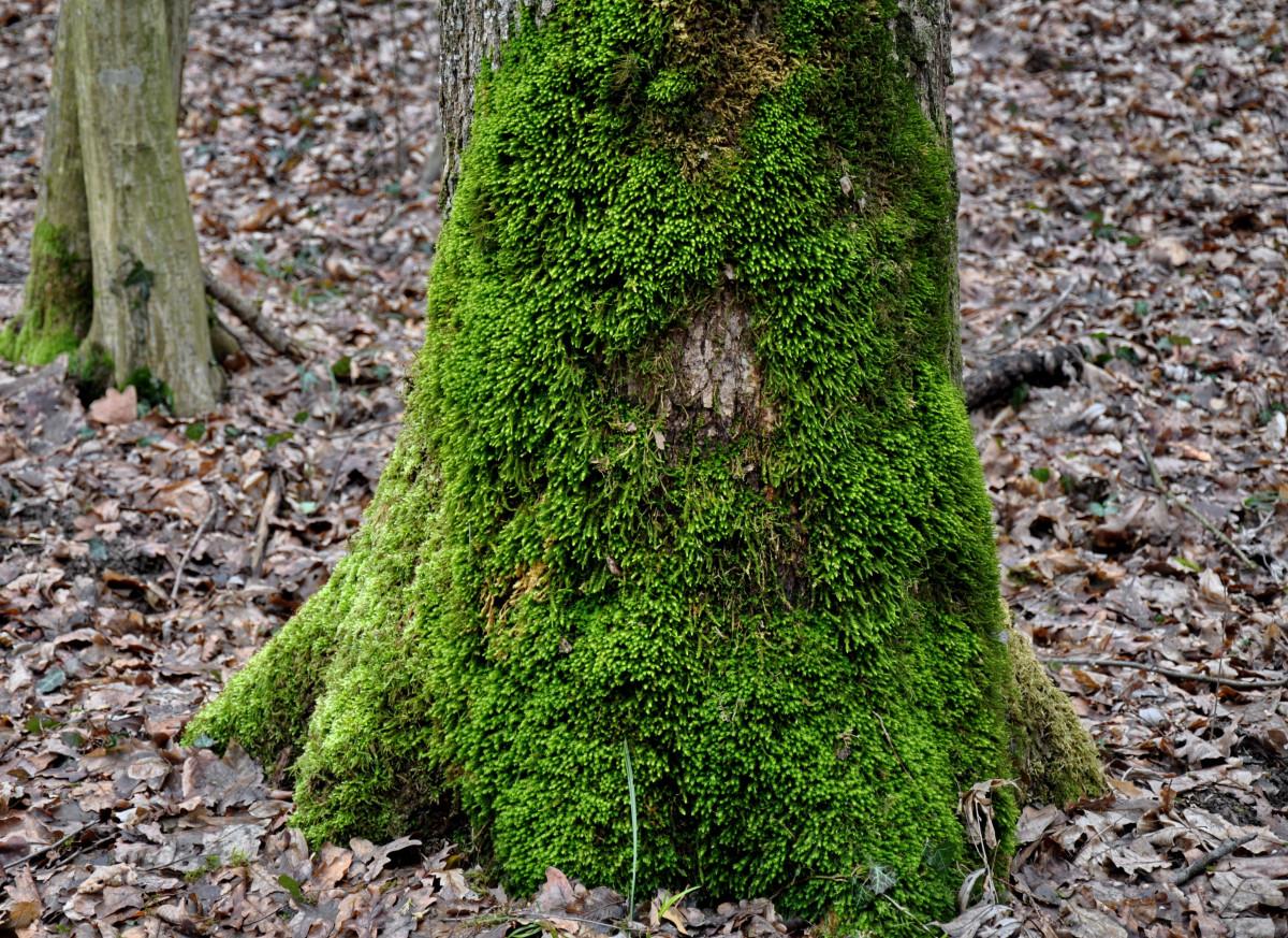 images gratuites arbre la nature for t herbe plante feuille fleur tronc mousse vert. Black Bedroom Furniture Sets. Home Design Ideas
