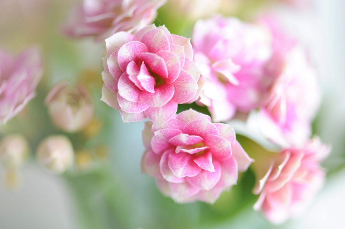 Fotos gratis flor p talo rosa verde nikon rosado - Cortar hierba alta ...