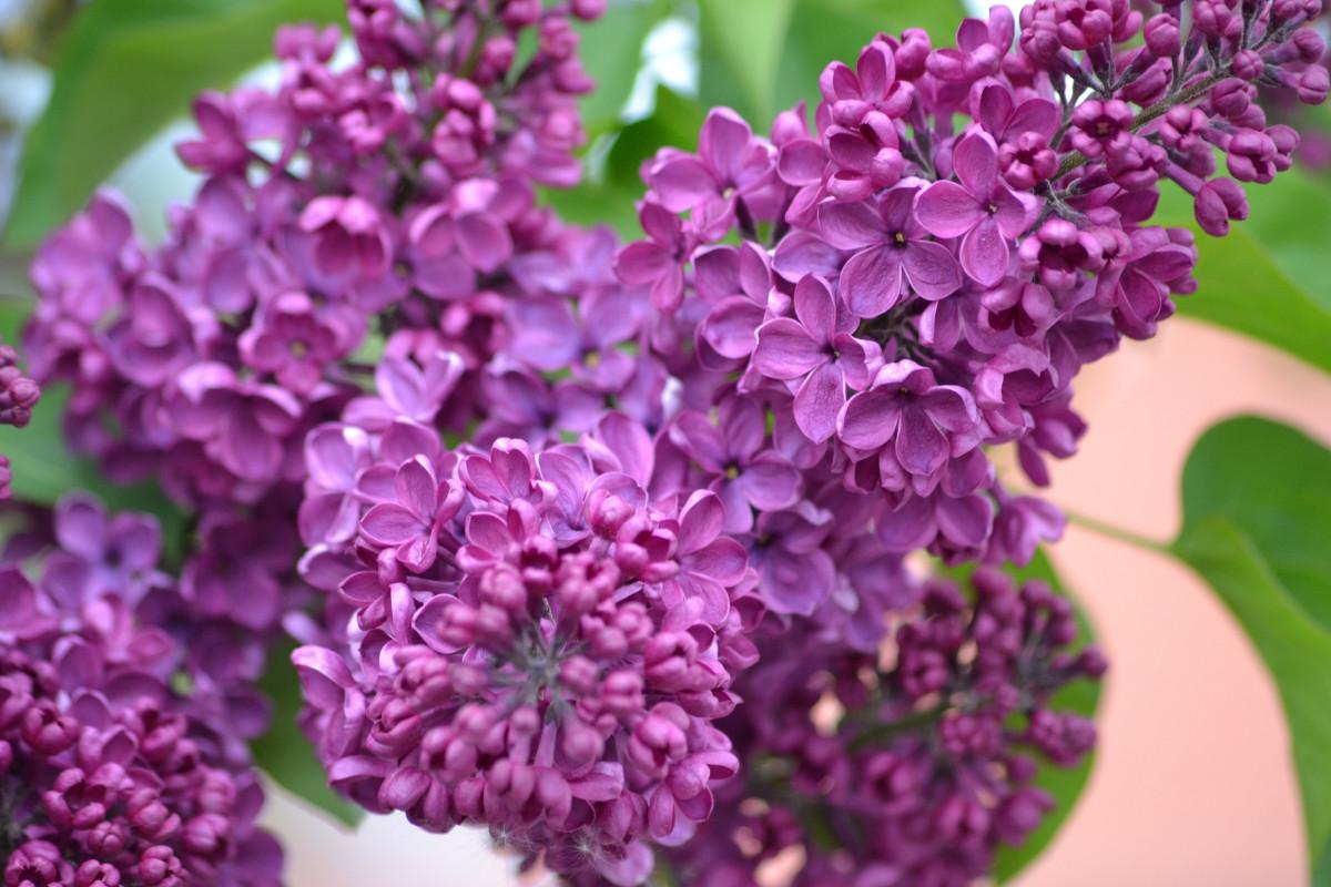 poze inflori floare violet petal arc botanic flor liliac mai acid planta cu flori. Black Bedroom Furniture Sets. Home Design Ideas