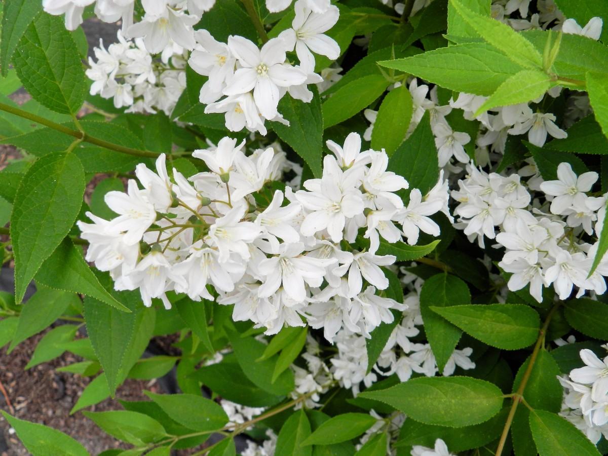Цветущий кустарник с белыми цветами