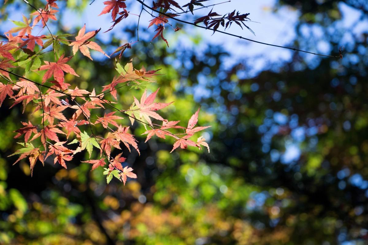 Acero Blu Giapponese immagini belle : paesaggio, albero, natura, ramo, fiorire
