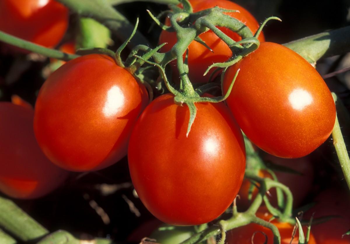 растение, фрукты, Пища, Красный, производить, Овощной, Здоровый, есть, готовить, помидор, овощи, Помидоры, Витамины, цветущее растение, Наземный завод, Картофель и томатный сорт