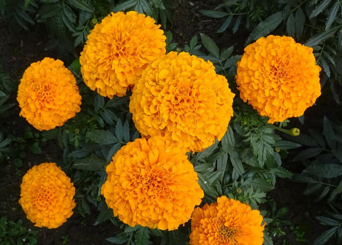 la nature fleur plante fleur Floraison herbe jaune jardin flore saison Asteraceae Inde annuel Kolkata souci Tansy plante à fleurs Famille de marguerites Calendula Genda Jhenduphool Gondephool Tagetes erecta Lantana camara Plante annuelle Tansy commun Plante terrestre Chrysanthues