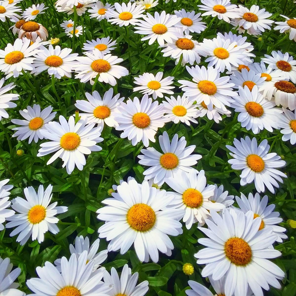 Images Gratuites Champ Prairie Fleur Herbe Plante A Fleurs