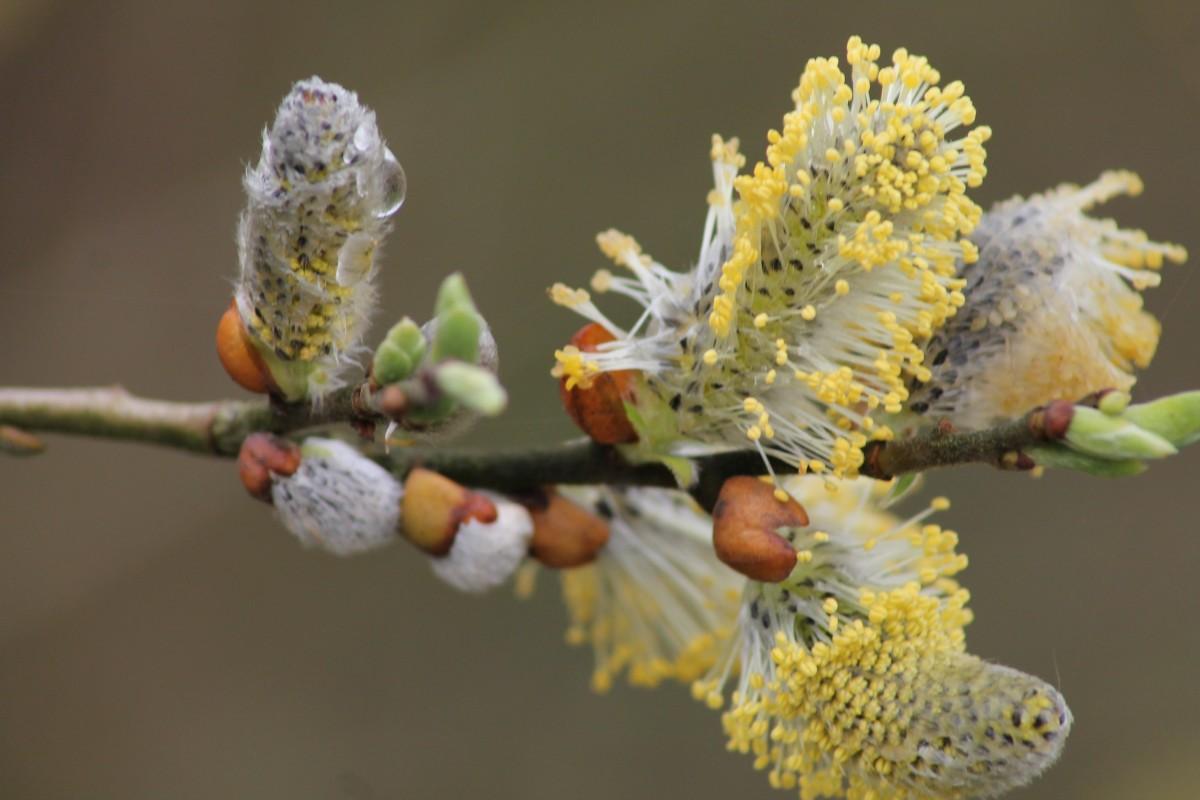 березовая пыльца картинки самые популярные