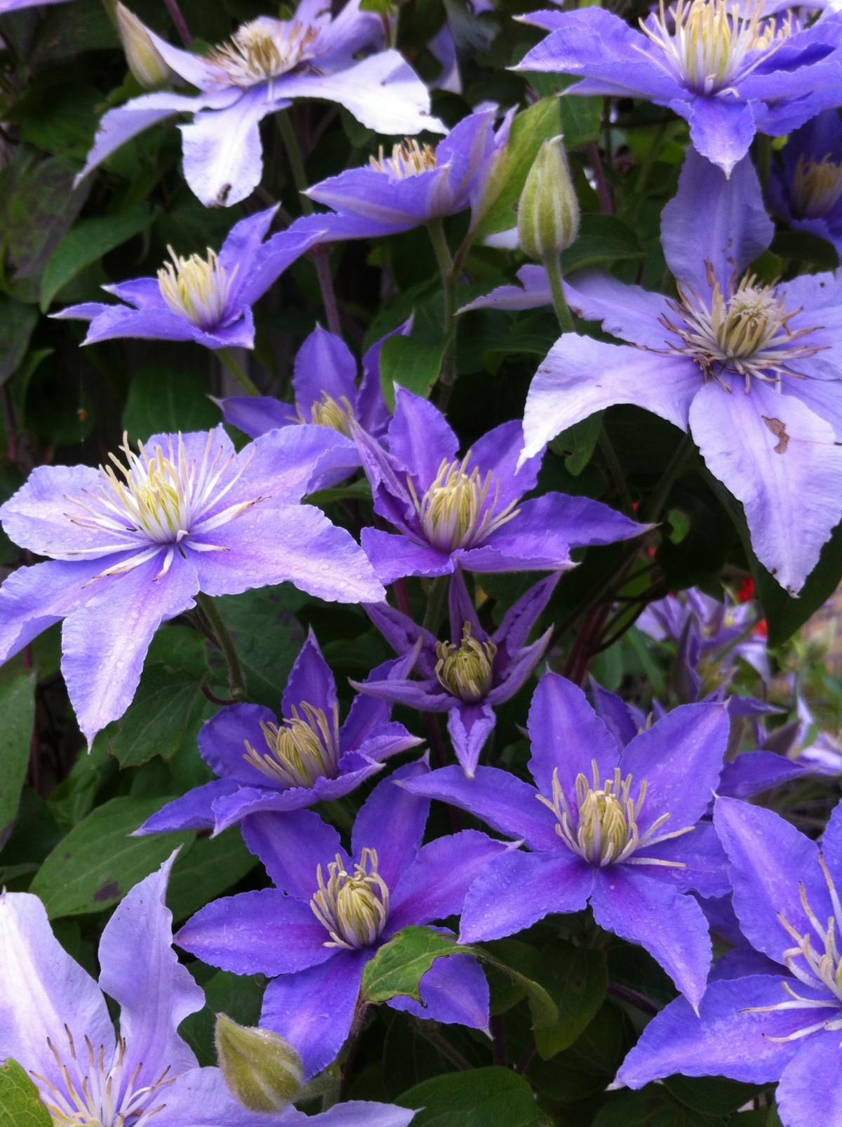 images gratuites p tale jardin fleur bleue cl matite creeper plante fleurs plante. Black Bedroom Furniture Sets. Home Design Ideas