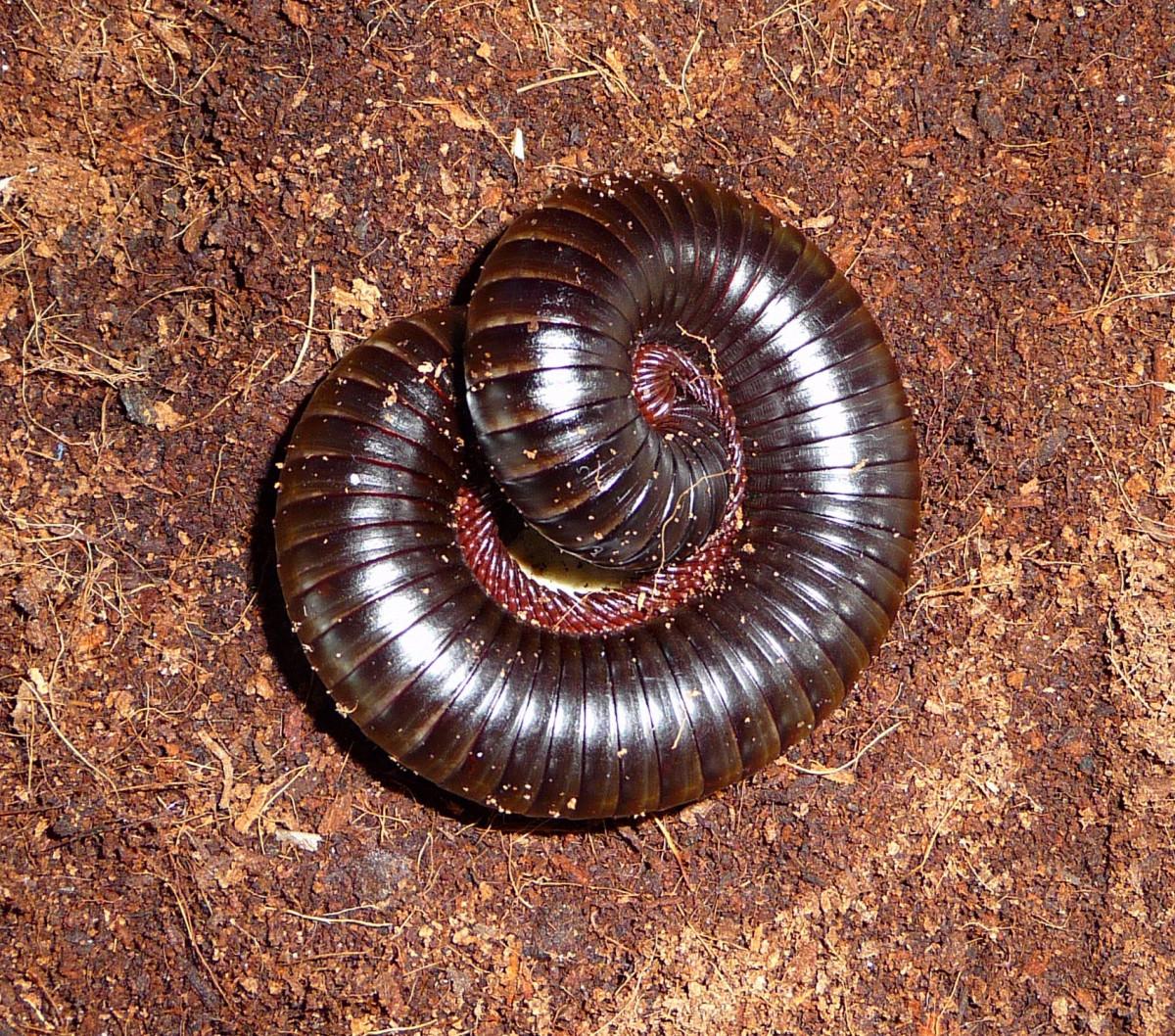 segmente de vierme