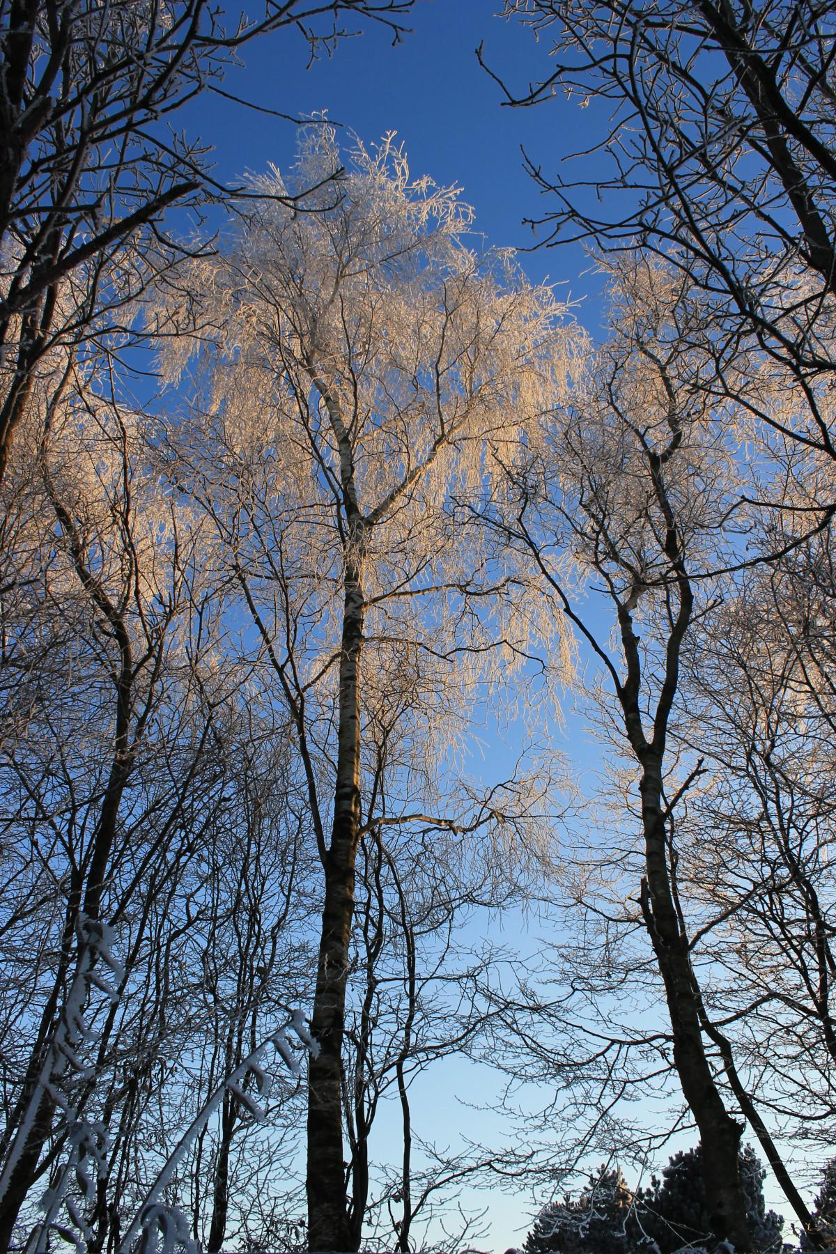Gambar : pemandangan, pohon, alam, hutan, cabang, salju