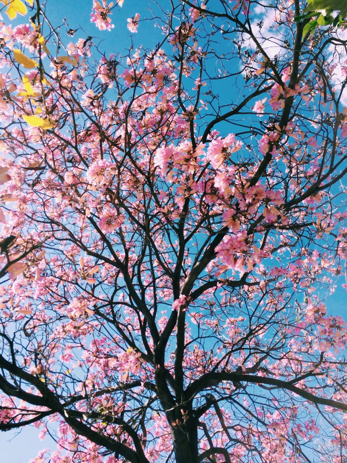 blossom_cherry_blossom_tree_leaf_nature-99664.jpg!d
