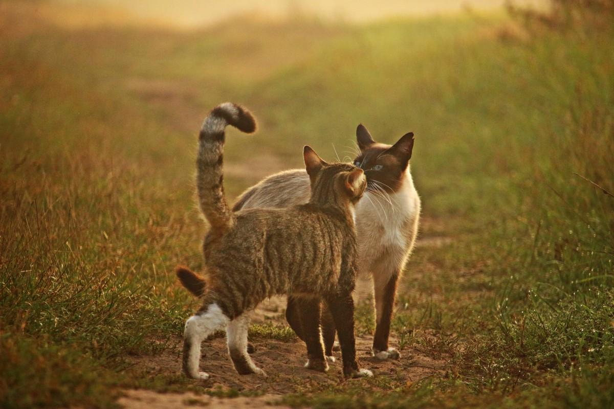 tráva mlha prérie zvěř a rostlinstvo kotě kočka podzim savec fauna savana siam obratlovců Mieze kočka domácí siamský siamská kočka plemeno kočka přitulit se makrela tygr kočka divoká kočka malé až středně velké kočky kočka jako savci