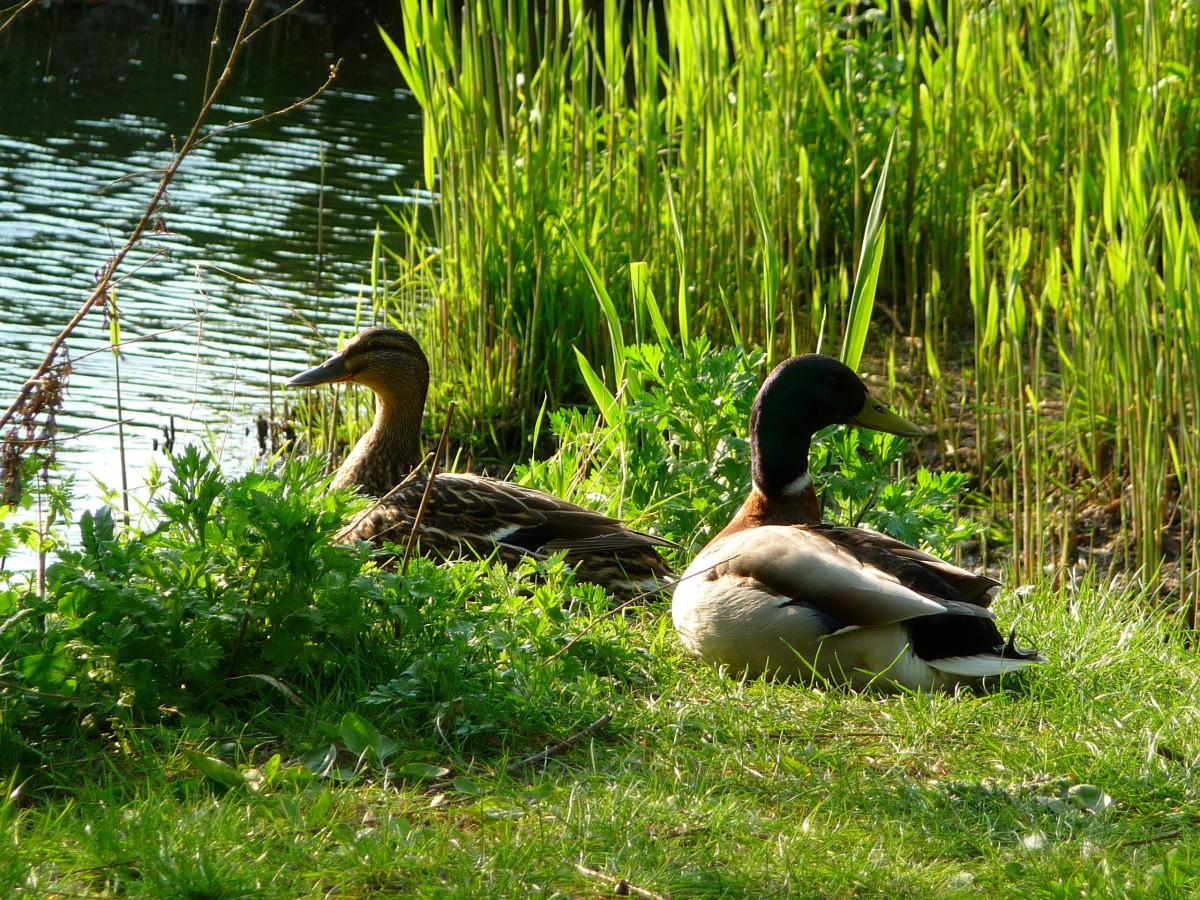 Fotos gratis patos pato blanco pato negro estanque for Estanques para patos prefabricados