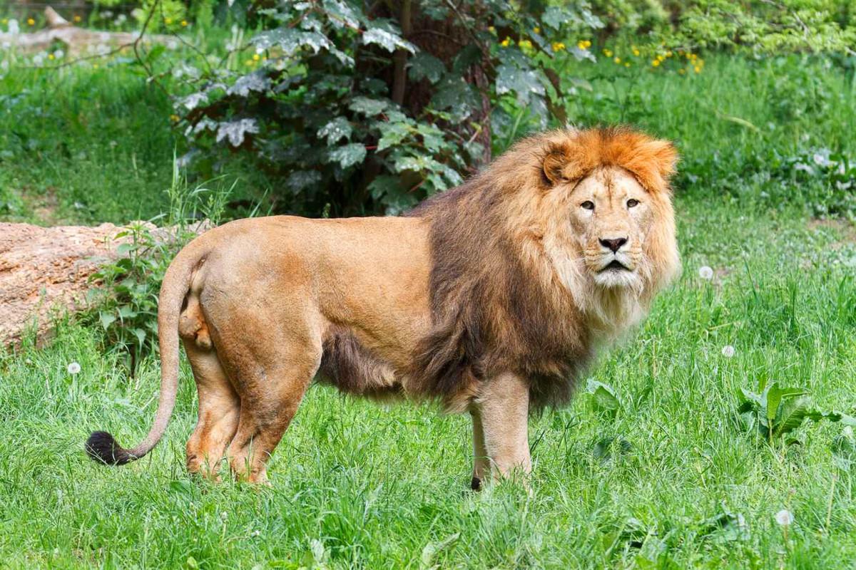 lion_big_cat_wild_animal_nature_mane_ani