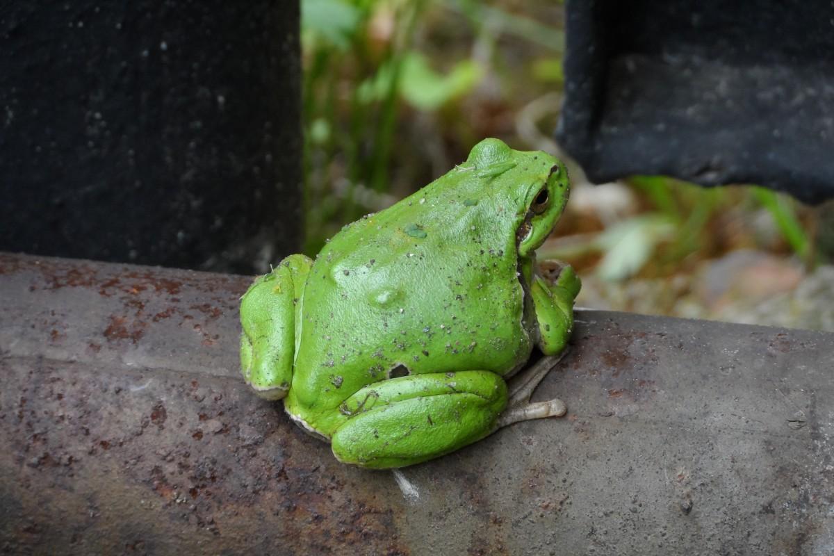 Fotos gratis maceta verde rana anfibio jard n for Ranas decoracion jardin