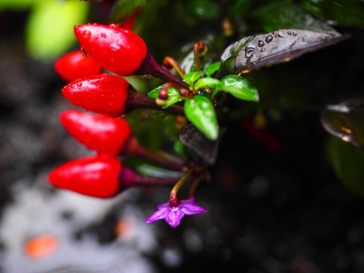 kostenlose foto blume lebensmittel rot produzieren gem se peperoni violett fr chte. Black Bedroom Furniture Sets. Home Design Ideas