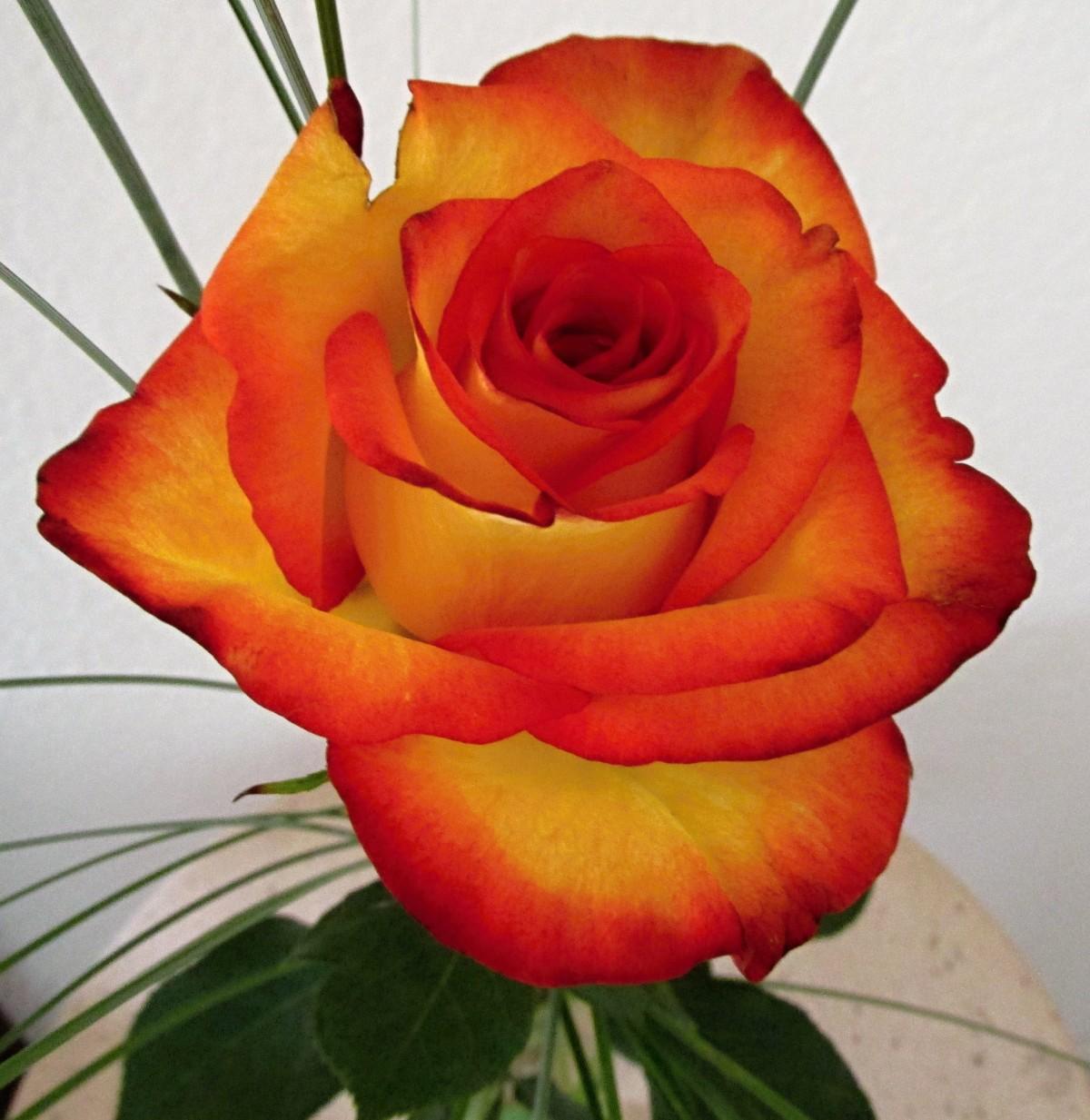 images gratuites fleur p tale floraison amour orange rouge couleur romantique jaune. Black Bedroom Furniture Sets. Home Design Ideas