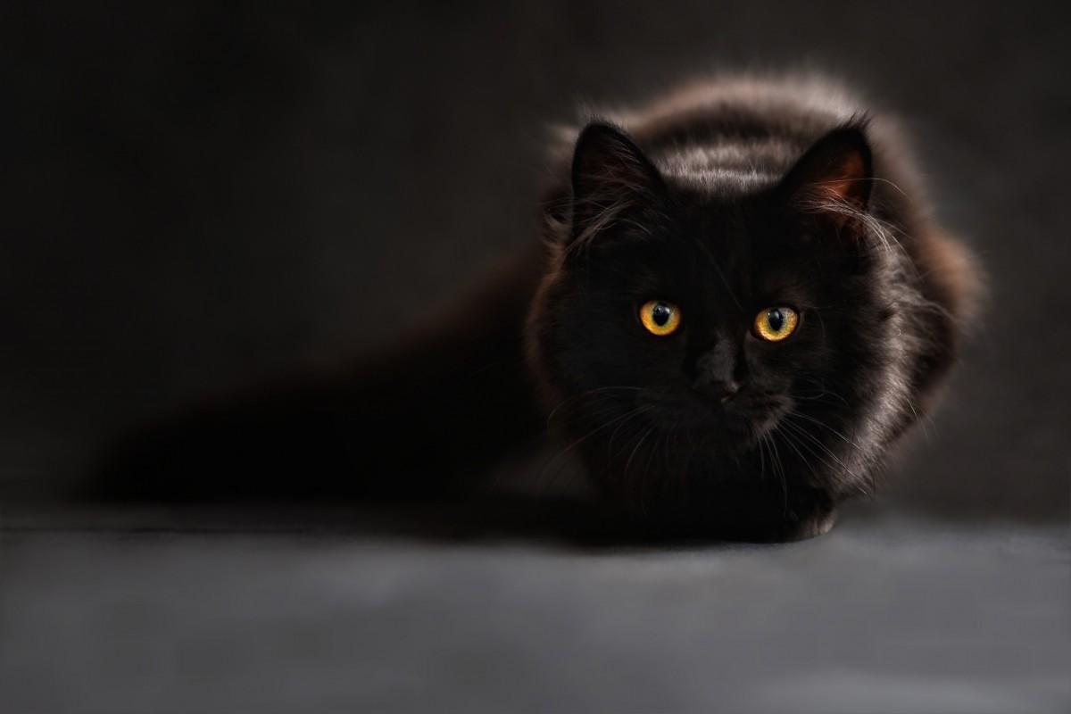 silhouette cat mammal black cat black monochrome whiskers vertebrate mainecoon animal portrait maine coon back light cat's eyes small to medium sized cats cat like mammal carnivoran cats silhouette