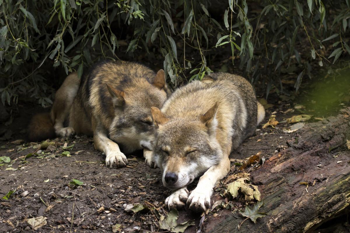чаще это картинки где спят волки марте