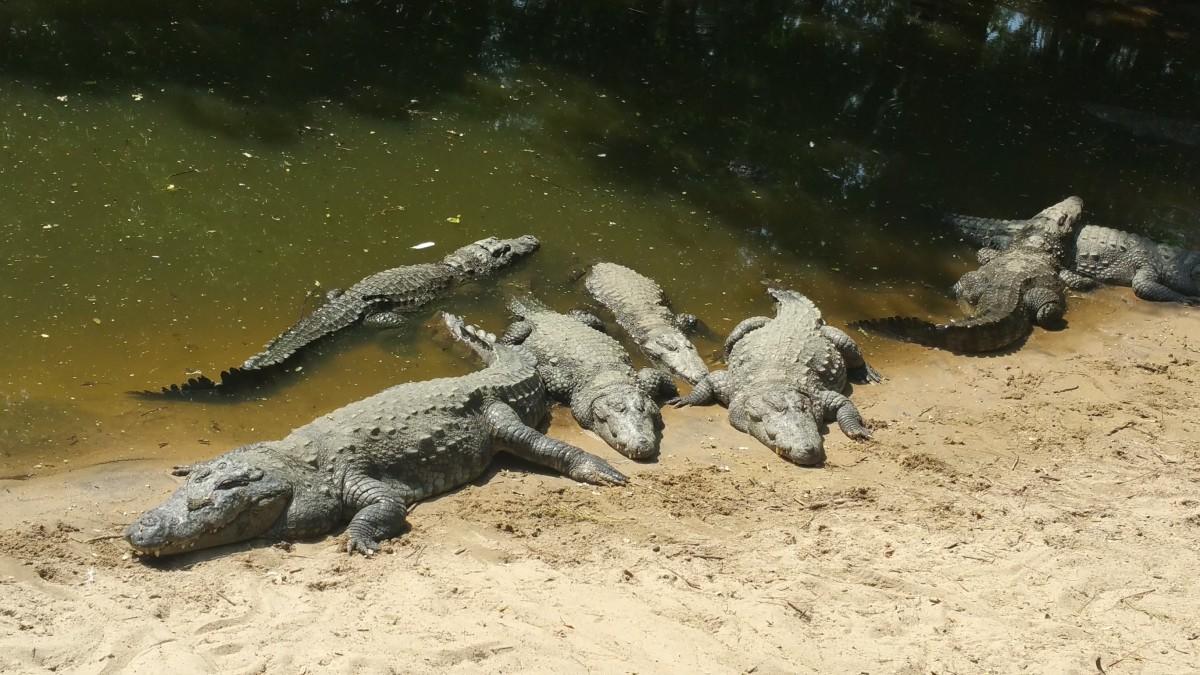 Crocodile reptile