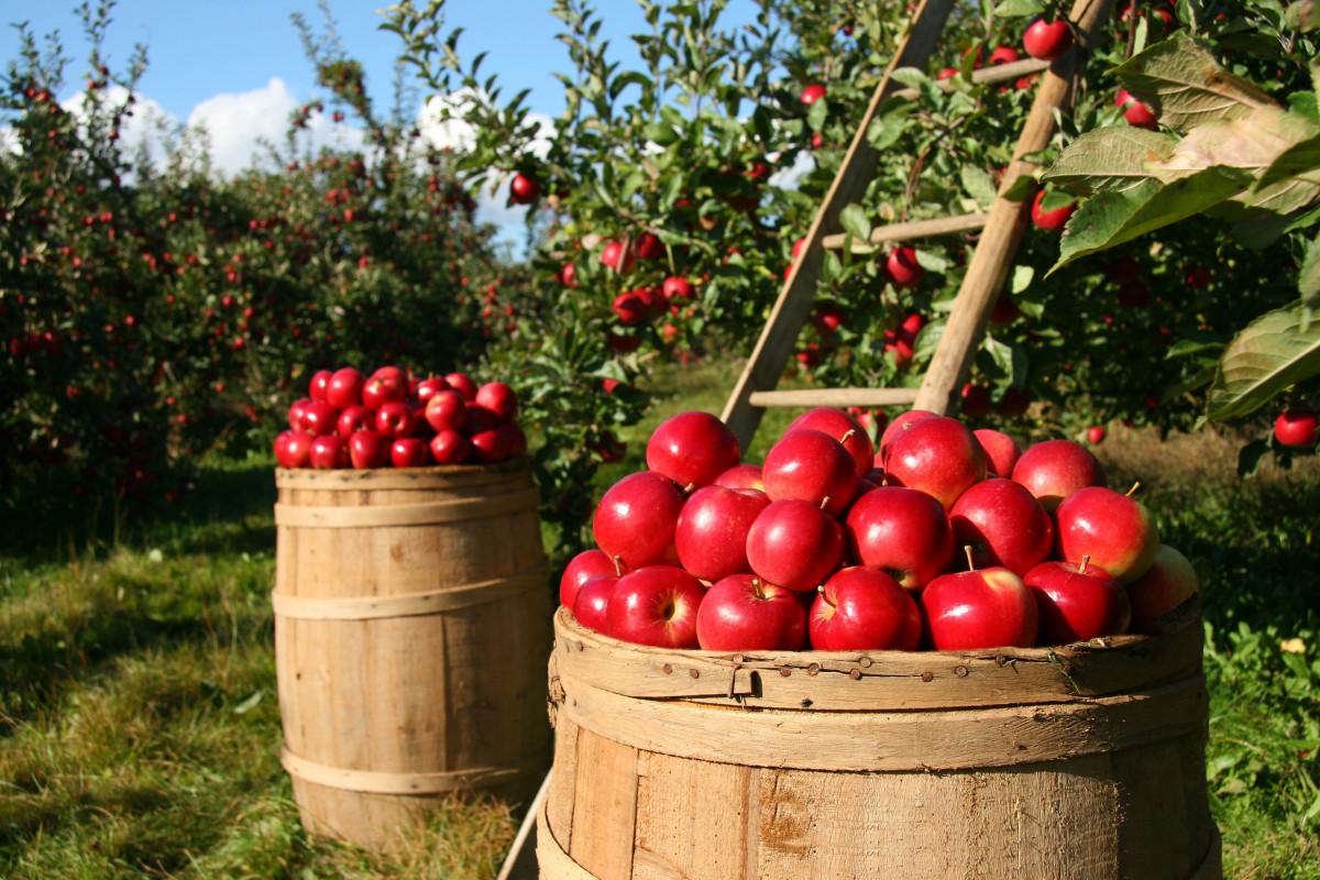 яблоко, дерево, природа, филиал, рост, растение