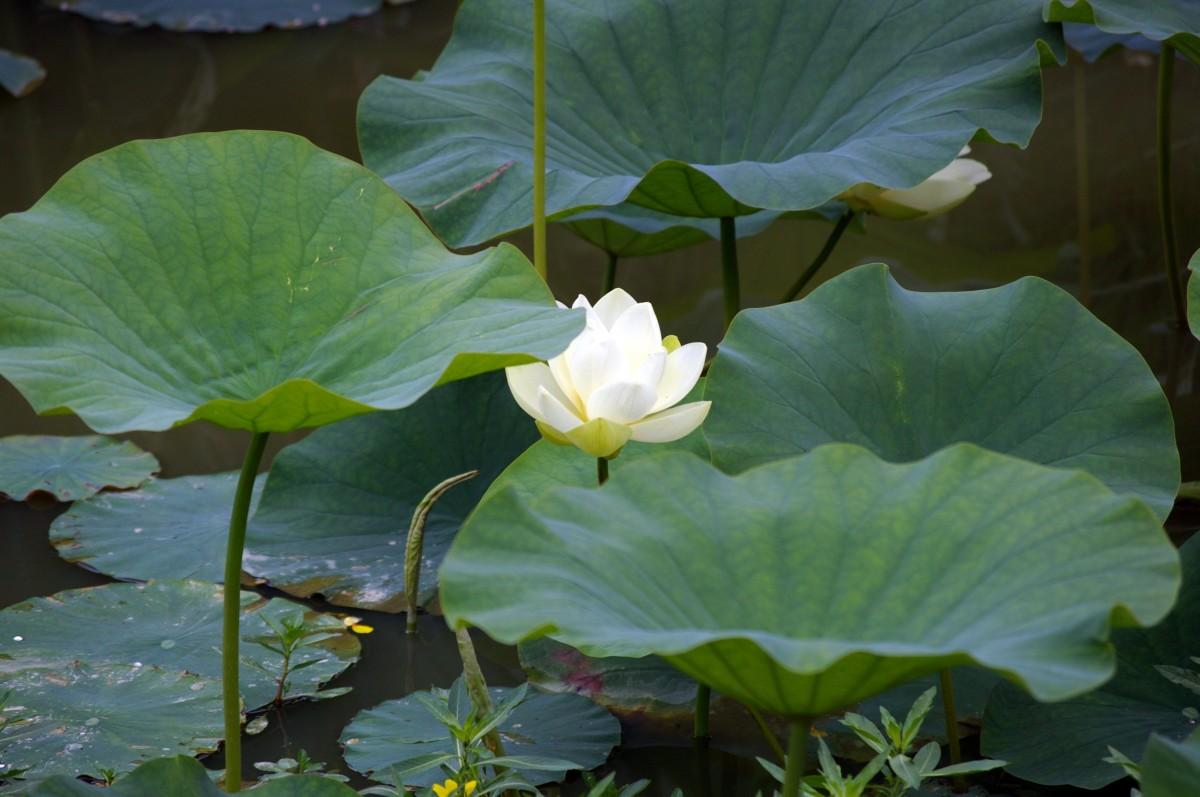 kostenlose foto wasser blatt blume bl tenblatt teich gr n botanik heiliger lotus. Black Bedroom Furniture Sets. Home Design Ideas