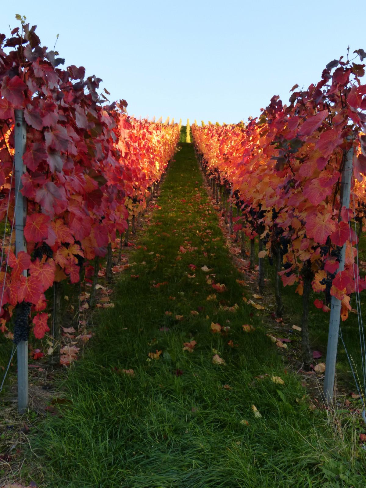 Images gratuites arbre vignoble du vin produire - L univers du jardin les rues des vignes ...