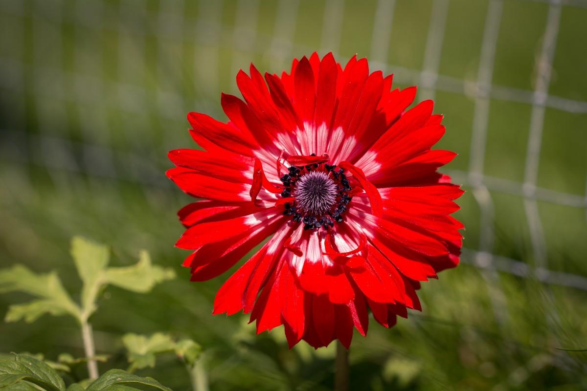 Gratis afbeeldingen bloesem fabriek bloem bloemblad for Gerbera in de tuin