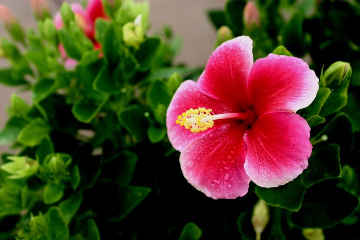 kostenlose foto draussen bl hen blume bl tenblatt paradies tropisch botanik hawaii. Black Bedroom Furniture Sets. Home Design Ideas