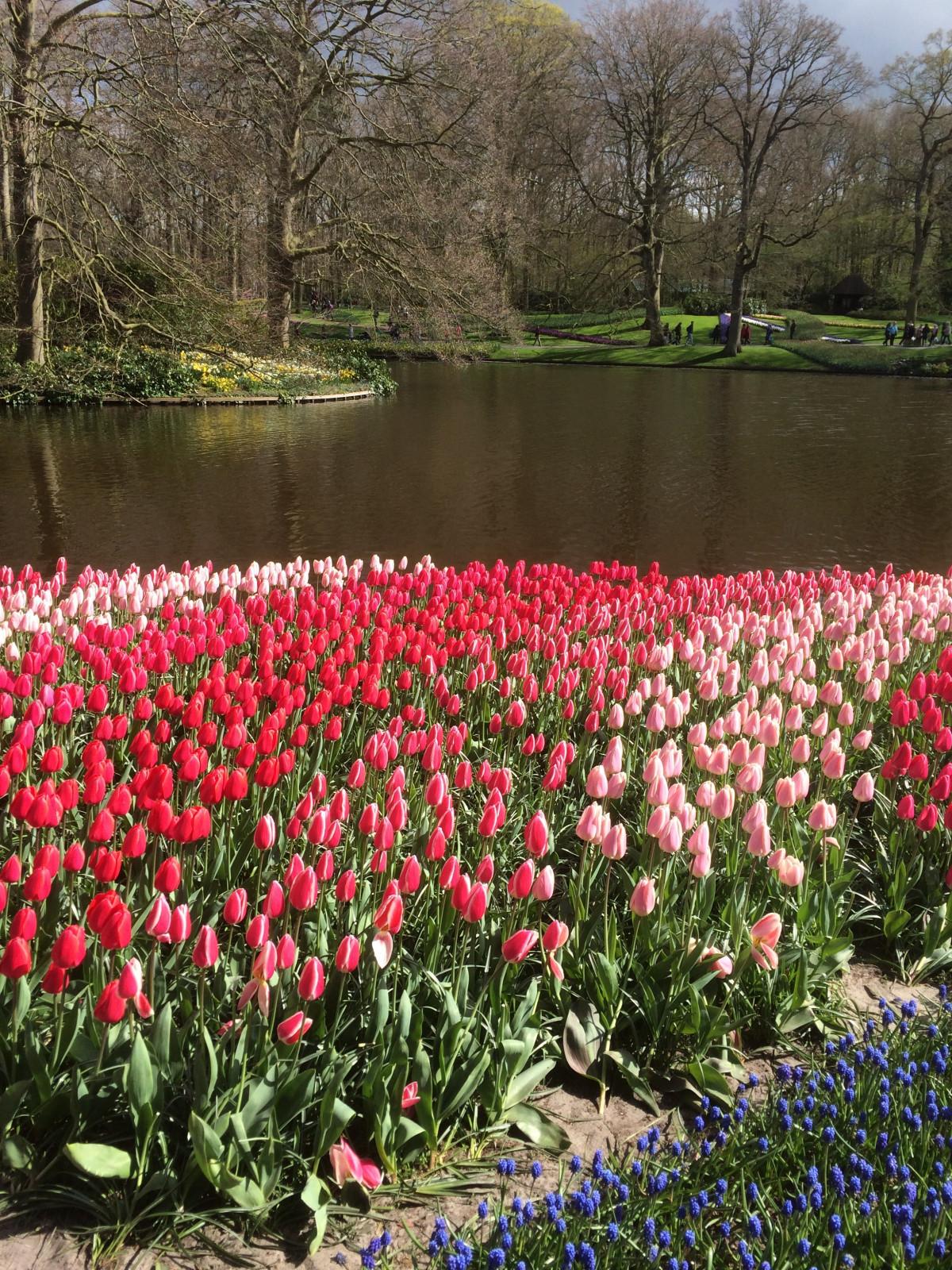 Free Images : nature, flower, petal, bloom, floral, tulip, spring ...