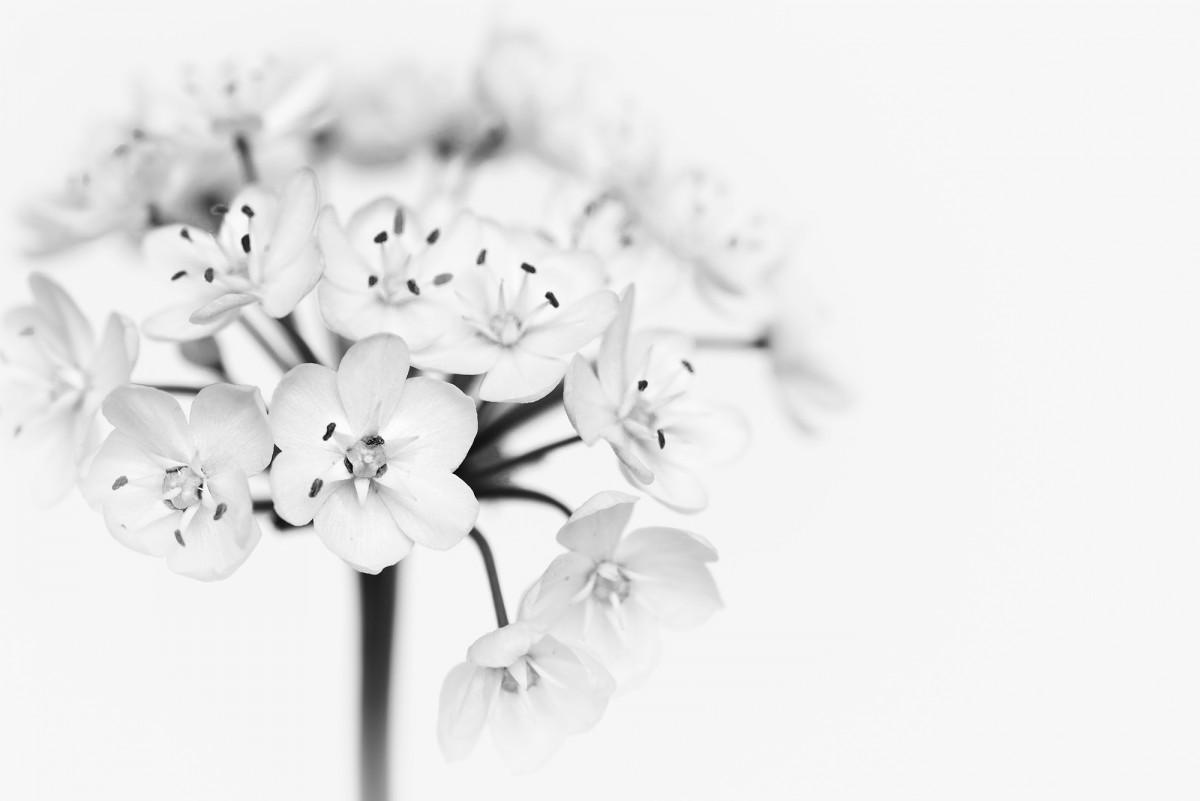Fotos Gratis : Flor, En Blanco Y Negro, Florecer