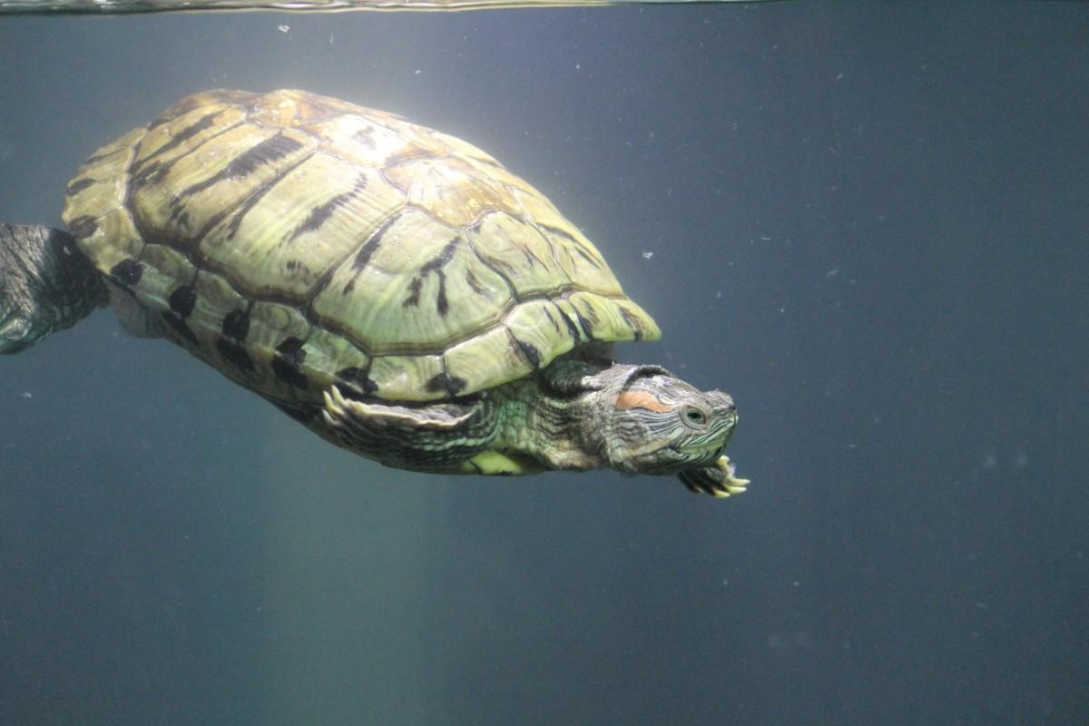 for Aquarium tortue aquatique