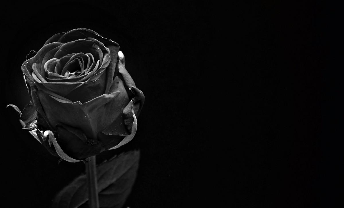 รูปภาพ : เบา, ดำและขาว, การถ่ายภาพ, เบ่งบาน, ความรัก, ดอก