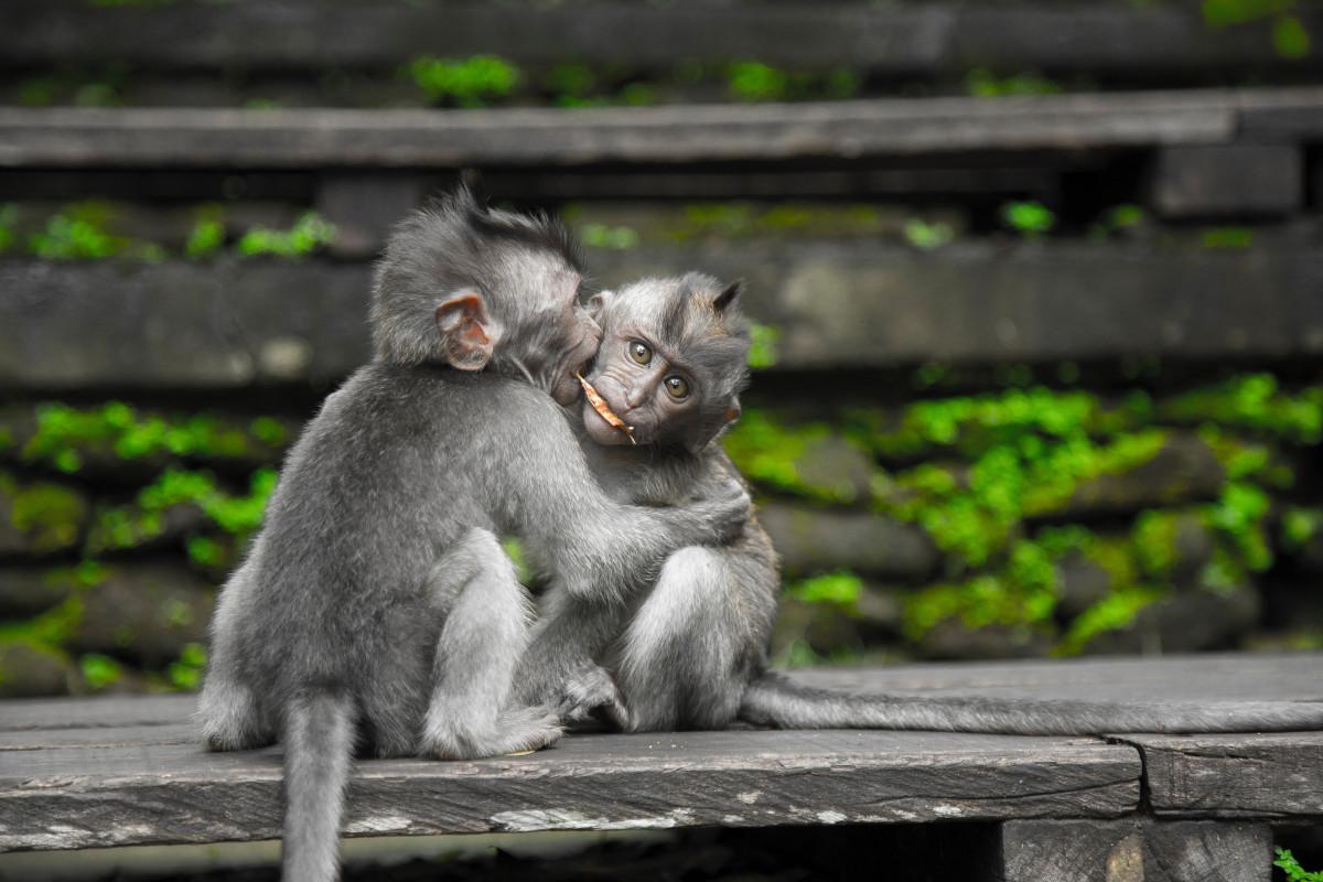 Tiere Hintergrund verwischen Nahansicht Essen Gesicht Pelz Grün grau wenig Suchen Macaque Säugetier Affen Natur draußen Primas Sitzung wild Tierwelt hölzern