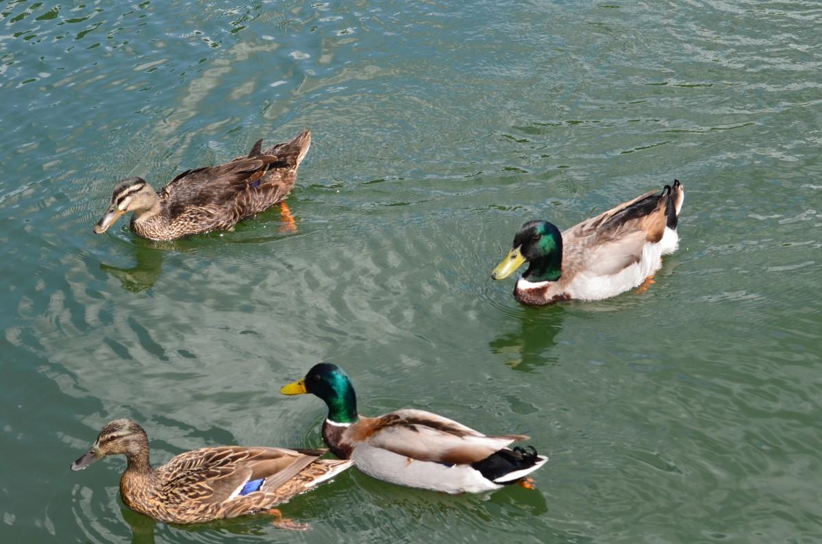 Free Images : nature, wing, lake, animal, cute, wildlife ...